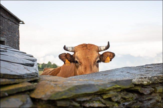 foto de vaca plana